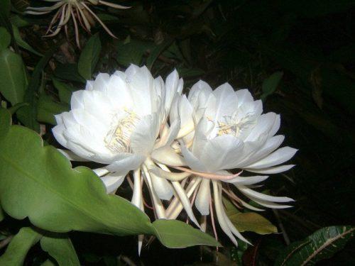 Hoa Kadupul2