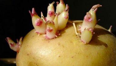 Mầm khoai tây