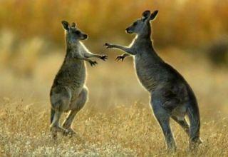 kangaroo-vui-dua